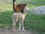 New Alpaca Cria